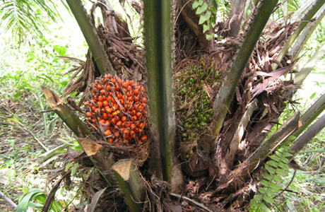 Плоды масличной пальмы на дереве