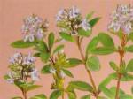 Лечебные свойства и противопоказания травы чабреца